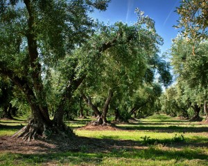 West Coast Products Olive Orchard