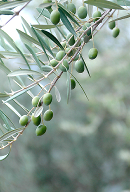 West Coast Products Green Olive Branch